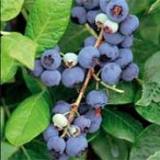 'Northland' is an upright, deciduous shrub with lance-shaped, mid-green leaves turning yellow or red in autumn, attractive white flowers in spring and early fruiting blueberries with a white bloom in summer. Vaccinium corymbosum 'Northland' added by Shoot)