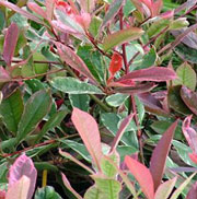 Photinia x fraseri 'Cassini'