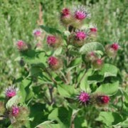 Arctium lappa added by Shoot)