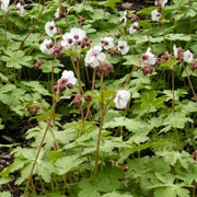 'Album' is a semi-evergreen perennial with rounded, pale-green, scented leaves. From late-spring to mid-summer, it bears white flowers that are flushed pale-pink with long, pink-tipped stamens.  Geranium macrorrhizum 'Album' added by Shoot)