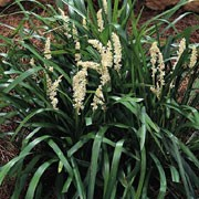 'Monroe White' is a clump-forming, tuberous, evergreen perennial with arching, linear to strap-shaped, glossy, dark green leaves and erect, dense spikes of white flowers in early to late autumn, followed by black berries. Liriope muscari 'Monroe White' added by Shoot)