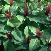 Trillium chloropetalum  added by Shoot)