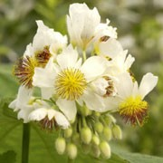 Sparrmannia africana added by Shoot)