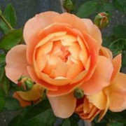 'Charles Austin' is an upright, deciduous shrub rose with glossy, serrated, mid-green leaves and clusters of large, fragrant, double, apricot flowers in summer and autumn. Rosa 'Charles Austin' added by Shoot)