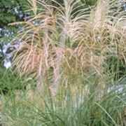'Grosse Fontäne' is a large, deciduous, clump-forming, perennial grass with narrow, erect to arching, dark green leaves and large panicles of pink to red-flushed, silver-white flowers in late summer to early autumn. Miscanthus sinensis 'Grosse Fontäne' added by Shoot)