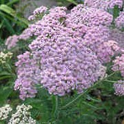'Christine's Pink' is an upright, herbaceous perennial with finely-divided, grey-green leaves and, in summer and autumn, erect stems bearing flat clusters of pale pink flowers. Achillea 'Christine's Pink' added by Shoot)