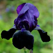 'Black Swan' is a clump-forming, rhizomatous perennial with uright, strap-like, mid-green leaves and dark, purple-black flowers with blue-black beards blooming in early summer. Iris 'Black Swan' added by Shoot)