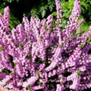 'Miriam' is a low-growing, spreading, evergreen shrub with narrow, dark green leaves and double pink flowers in autumn. Calluna vulgaris 'Miriam' added by Shoot)