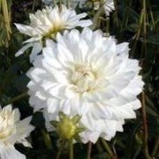 'Fleur' is a clump-forming, tuberous perennial with toothed, dark green, pinnate leaves and large, double, white flowers with pale yellow centres blooming in summer and autumn. Dahlia 'Fleur' added by Shoot)