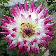 'Veritable' is an upright, tuberous perennial with toothed, dark green, palmate leaves and double, white flowers with broad lavender to rose-pink tips blooming in summer and autumn. Dahlia 'Veritable' added by Shoot)