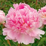 'Eden's Perfume' is a vigorous, compact, clump-forming, herbaceous perennial with divided, glossy, mid-green leaves and large, fragrant, double, sometimes fringed, pink flowers in summer. Paeonia 'Eden's Perfume' added by Shoot)