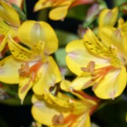 'Princess Sophia' is a clump-forming, tuberous perennial with erect stems bearing linear, dark green leaves and large, golden-yellow flowers with red flecks and prominent orange stamens in summer and autumn. Alstroemeria 'Princess Sophia' added by Shoot)