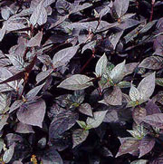 Alternanthera dentata 'Purple Knight'