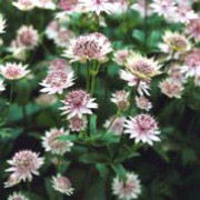 'Buckland' is an upright, clump-forming, herbaceous perennial with deeply lobed, toothed, mid-green leaves and pale pink flowers surrounded by green-tipped, white bracts in summer. Astrantia 'Buckland' added by Shoot)