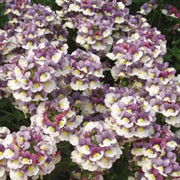 'Berries and Cream' is a compact, upright, tender perennial usually grown as an annual with ovate, mid-green leaves and fragrant, bicoloured, purple and white flowers from late spring to early autumn. Nemesia 'Berries and Cream' added by Shoot)