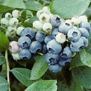 'Herbert' is a vigorous, upright, deciduous shrub with elliptic, mid-to dark green leaves turning orange or red in autumn, clusters of waxy, bell-shaped, white flowers in spring and heavy yields of medium-sized, edible, blue berries in summer.