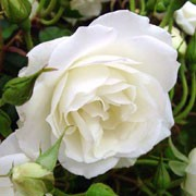 'Iceberg' is a vigorous, rounded, deciduous shrub with serrated, light green leaves and large clusters of double white flowers in summer and autumn. Rosa 'Iceberg' added by Shoot)