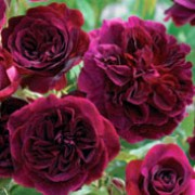'Munstead Wood' is a bushy, broadly spreading, deciduous shrub with semi-glossy, mid-green leaves, bronze-red when young, and large, cupped, strongly fragrant, dark crimson flowers in summer and autumn. Rosa 'Munstead Wood' added by Shoot)