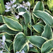 'First Frost' is a hardy, clump-forming perennial with upright, heart-shaped blue-green leaves edged with yellow and lavendar flowers in summer. Hosta 'First Frost' added by Shoot)