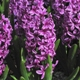 Hyacinthus orientalis 'Purple Sensation'