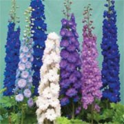 'New Zealand Doubles Mixed' is a tall, upright annual that has green leaves and spikes of double blooms that come in a mix of white, pink, light blue or mauve. Delphinium hybrida 'New Zealand Doubles Mixed' added by Shoot)