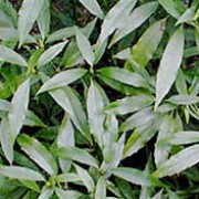 'Salicifolia' is a dense, rounded shrub with large, elliptic, narrow evergreen leaves.  Aucuba japonica 'Salicifolia' added by Shoot)