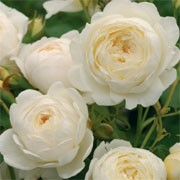 'Claire Austin' is an English rose. It is a hardy shrub or climging rose with medium green foliage and fully-double, fragrant flowers which start pale lemon and age to creamy white.  Rosa 'Claire Austin' added by Shoot)