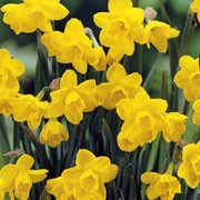'Quail' is a robust, bulbous perennial with narrow, cylindrical, mid-green leaves and leafless stems bearing up to three fragrant, bright yellow flowers in mid-spring. Narcissus 'Quail'  added by Shoot)