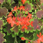 'Vancouver Centennial' is a compact, bushy, erect, tender, evergreen perennial with succulent stems bearing lobed, bright green leaves with wide bronze to brown zones and clusters of single, star-shaped, orange-red flowers in summer. Pelargonium 'Vancouver Centennial' added by Shoot)