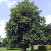 Tilia x europaea added by Shoot)