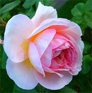 Rosa 'Queen of Sweden'