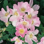 Paulii Rosea is a ground cover rose. It is a hardy, spreading shrub with large, single pink flowers with a white centre. Rosa Paulii Rosea added by Shoot)