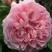 'Radio Times' is an English rose. It is a hardy, short-medium, bushy shrub which forms strongly fragrant, fully-double pink flowers. Rosa 'Radio Times' added by Shoot)