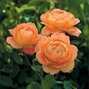'Lady of Shalott' is an English rose. It is a robust and very hardy, shrub forming fragrant, fully-double orange yellow blooms.  Rosa 'Lady of Shalott' added by Shoot)