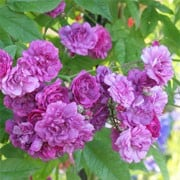 'Rose-Marie Viaud' is a rambling rose. It is a hardy, tall, thornless shrub forming large clusters of small purple-violet flowers. No fragrance. Rosa 'Rose-Marie Viaud' added by Shoot)