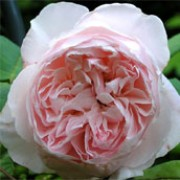 'St. Cecilia' is an English rose. It is a hardy, medium shrub forming highly fragrant, double, pale-pink flowers. Rosa 'St. Cecilia' added by Shoot)