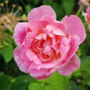 'Windflower' ia an English rose. It is a hardy, medium shrub with an open, airy habit forming fragrant, double, pink flowers.  Rosa 'Windflower' added by Shoot)