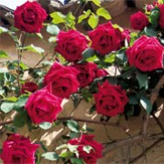 'Château de Clos Vougeot' is a hardy climbing rose forming highly fragrant, double, rich red flowers. Rosa 'Château de Clos Vougeot' added by Shoot)