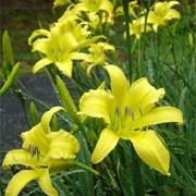 'Hyperion' is an evergreen perennial with a clump-forming habit. It has light-green foliage and erect stems. In summer it bears a succession of yellow flowers with wavy, reflexed petals that open in the afternoon. Hemerocallis 'Hyperion' added by Shoot)