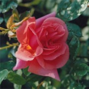'Mme Edouard Herriot' is a climbing rose. It is a tall shrub forming fragrant, loosely-double, apricot pink flowers. Rosa 'Mme Edouard Herriot' added by Shoot)
