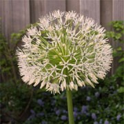 'White Empress' is a bulbous perennial forming strap-shaped, grey-green leaves and large, globular clusters of starry white flowers. Allium 'White Empress' added by Shoot)
