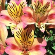 'Cahors' is a compact perennial forming pale pink flowers with deep pink and yellow flecked throat. Long-flowering. Alstroemeria 'Cahors' added by Shoot)