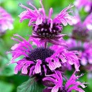 'Mohawk' is a clum[p-forming, herbaceous perennial with aromatic, lance-shaped, mid-green leaves and terminal whorls of two-lipped, mauve to purple flowers from midsummer to early autumn. Monarda 'Mohawk' added by Shoot)