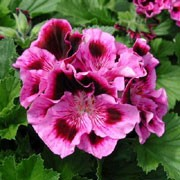 'Royal Surprise' is a bushy, tender, evergreen perennial with toothed, lobed, mid-green leaves and double, frilled, pink flowers with maroon to dark purple blotches in summer. Pelargonium 'Royal Surprise' added by Shoot)