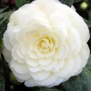 'Golden Anniversary' is a compact, upright, evergreen shrub with oval, glossy, dark green leaves and double, white to pale yellow flowers in early to mid-spring. Camellia 'Golden Anniversary' added by Shoot)