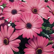'Sunny Fiona' is a bushy, mound-forming, tender, evergreen perennial with toothed, semi-glossy, obovate, mid-green leaves and deep pink flowers with dark brown centres in summer and autumn. Osteospermum 'Sunny Fiona' added by Shoot)