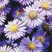 'Barbados' is a compact, dwarf, clump-forming, rhizomatous perennial with branching stems, lance-shaped, mid-green leaves and clusters of pale purple flowers with yellow centres from late summer to mid-autumn. Aster novi-belgii 'Barbados'  added by Shoot)