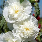 'Chater's Double Icicle' is a vigorous, upright biennial or short-lived perennial with lobed, rounded, rough, mid-green leaves and large, double, white flowers in summer. Alcea rosea 'Chater's Double Icicle' added by Shoot)