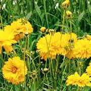 'Santa Fe Yellow' is an upright, clump-forming, branching, dwarf perennial with lance-shaped, mid-green leaves and thin, erect stems bearing semi-double, golden-yellow flowers in summer and autumn. Coreopsis grandiflora 'Santa Fe Yellow' added by Shoot)