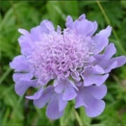 Scabiosa lucida added by Shoot)